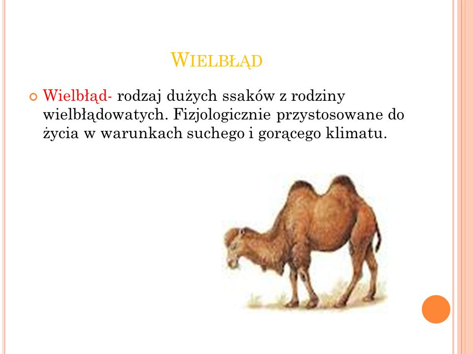 Wielbłąd Wielbłąd- rodzaj dużych ssaków z rodziny wielbłądowatych.