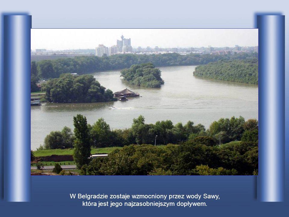 W Belgradzie zostaje wzmocniony przez wody Sawy, która jest jego najzasobniejszym dopływem.