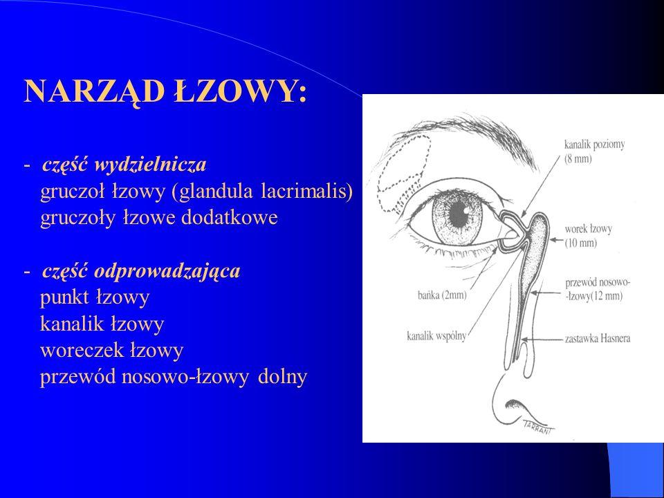 NARZĄD ŁZOWY: część wydzielnicza gruczoł łzowy (glandula lacrimalis)