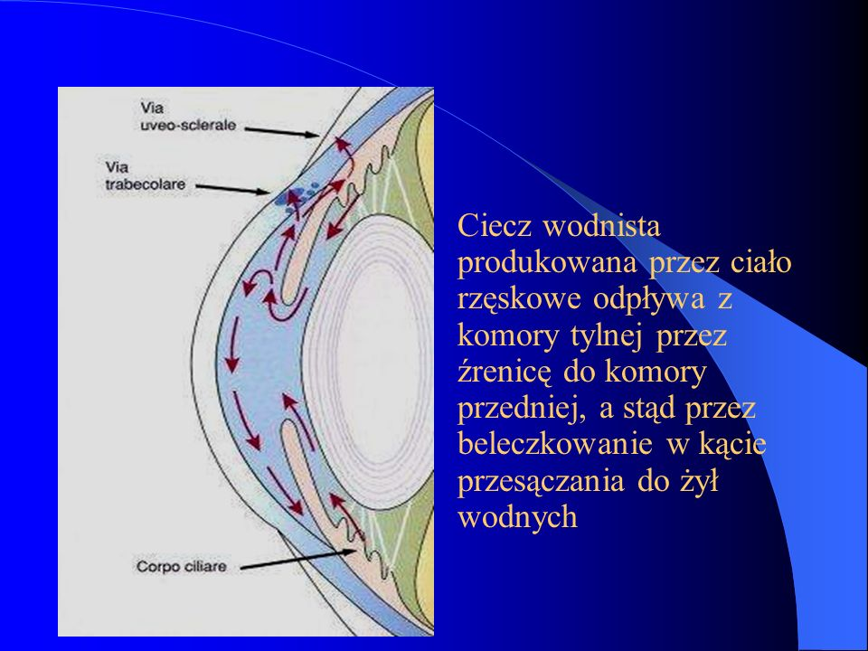 Ciecz wodnista produkowana przez ciało rzęskowe odpływa z komory tylnej przez źrenicę do komory przedniej, a stąd przez beleczkowanie w kącie przesączania do żył wodnych