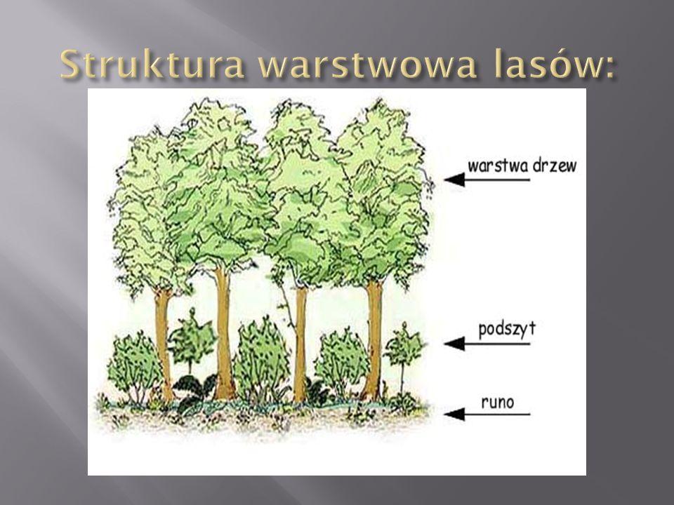 Struktura warstwowa lasów:
