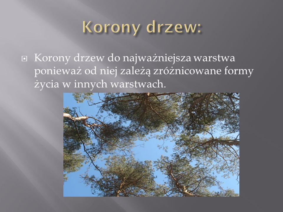 Korony drzew: Korony drzew do najważniejsza warstwa ponieważ od niej zależą zróżnicowane formy życia w innych warstwach.