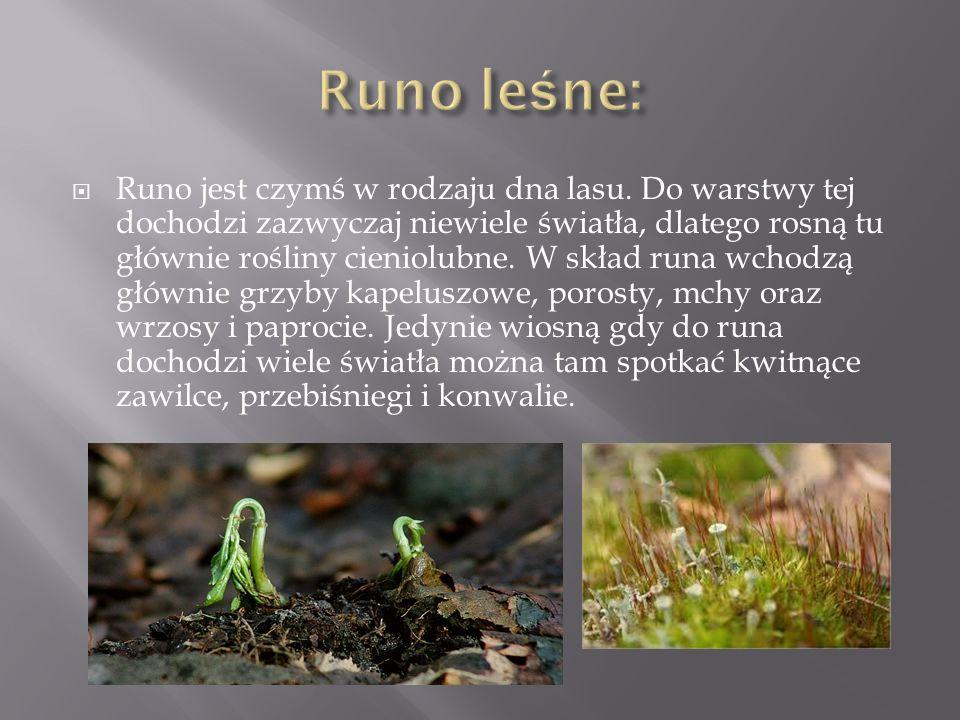 Runo leśne: