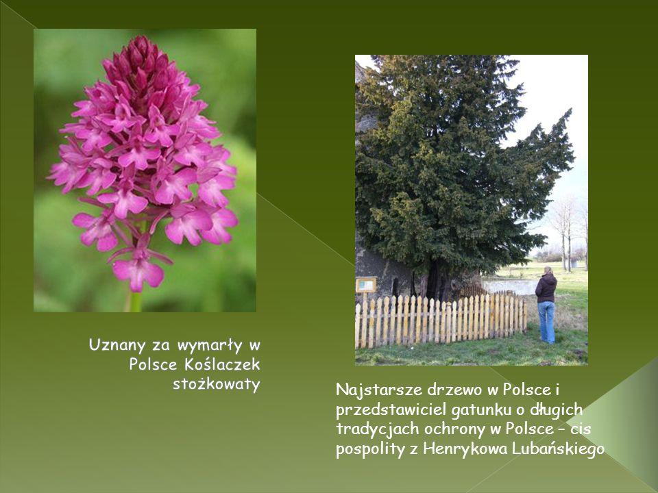 Uznany za wymarły w Polsce Koślaczek stożkowaty