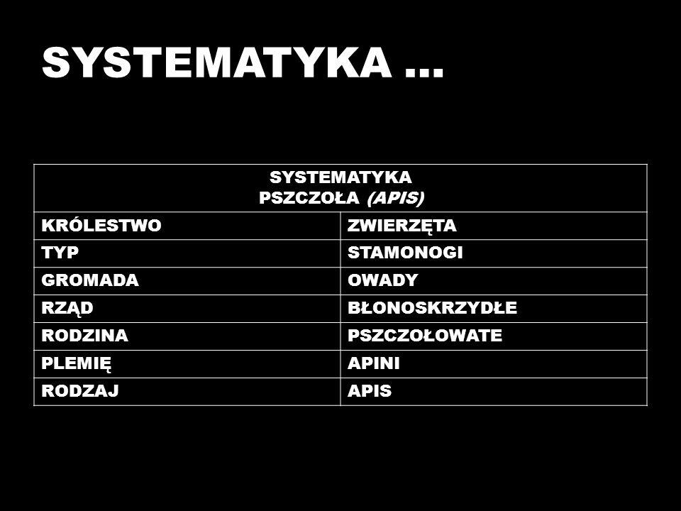SYSTEMATYKA … SYSTEMATYKA PSZCZOŁA (APIS) KRÓLESTWO ZWIERZĘTA TYP