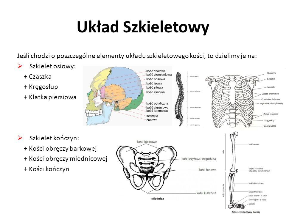 Układ SzkieletowyJeśli chodzi o poszczególne elementy układu szkieletowego kości, to dzielimy je na: