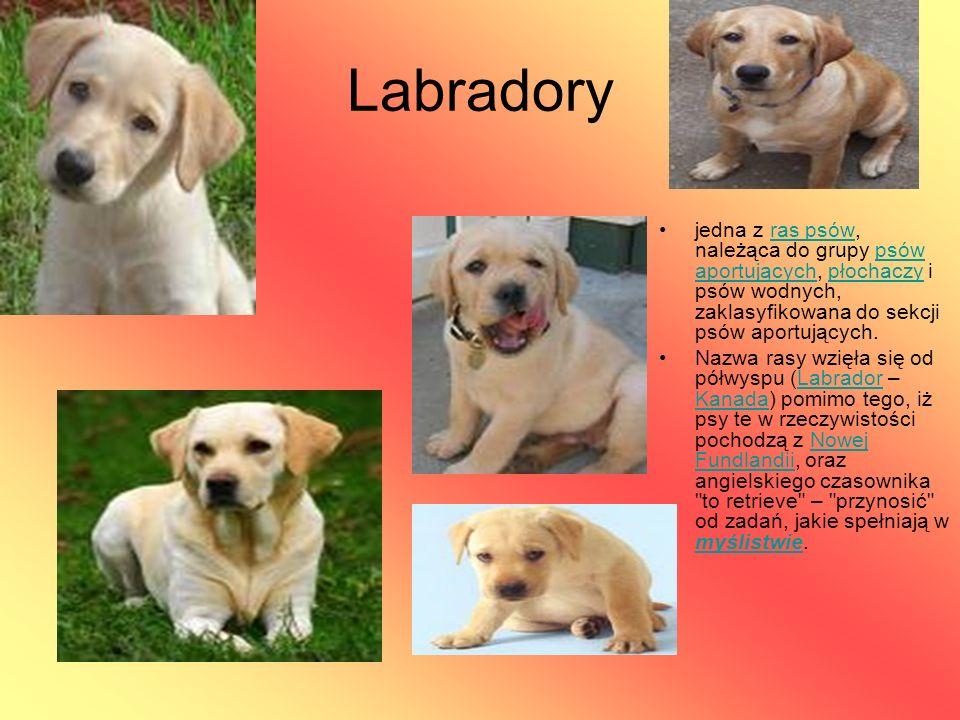 Labradory jedna z ras psów, należąca do grupy psów aportujących, płochaczy i psów wodnych, zaklasyfikowana do sekcji psów aportujących.