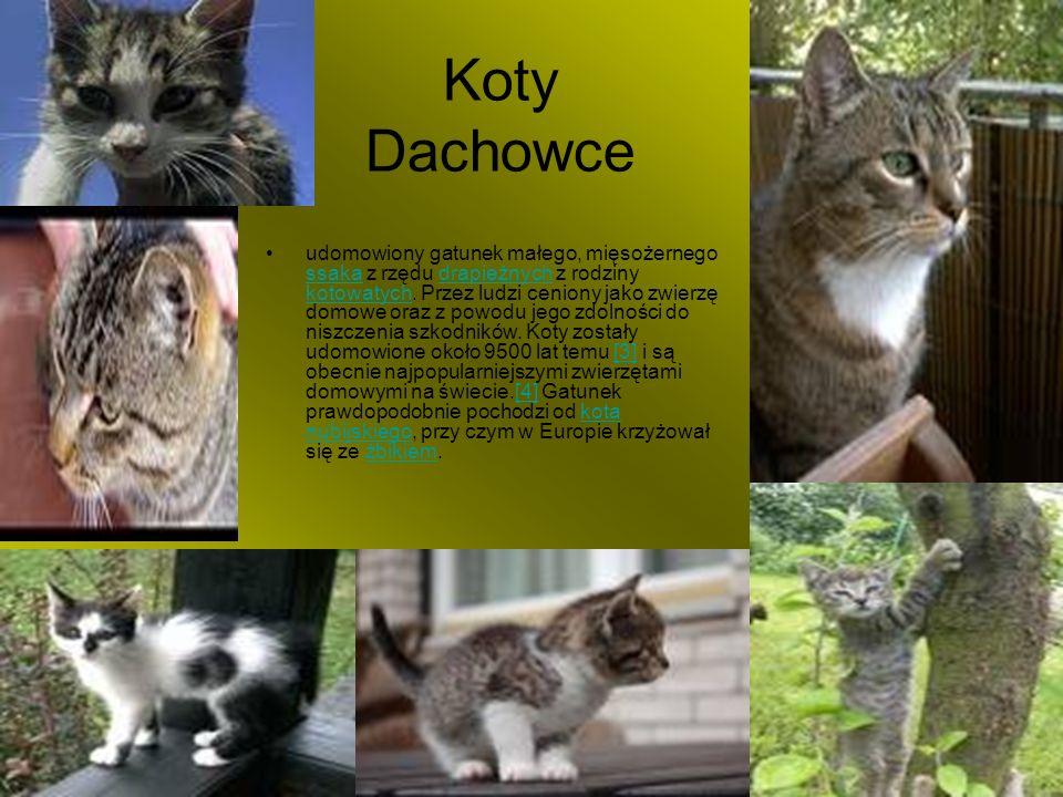 Koty Dachowce