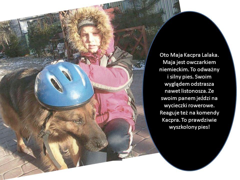 Oto Maja Kacpra Lalaka. Maja jest owczarkiem niemieckim