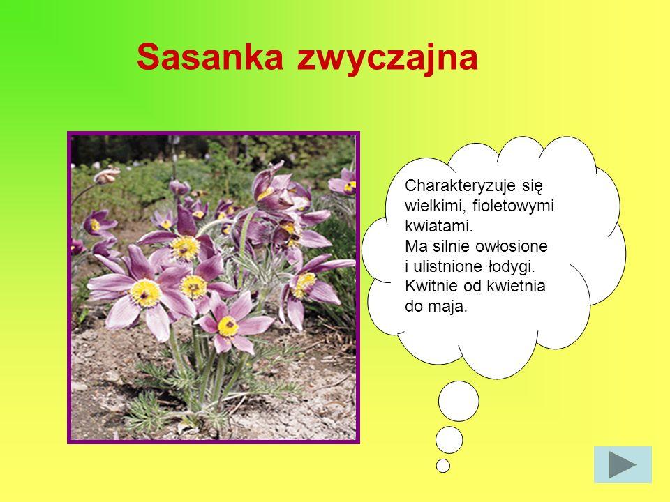 Sasanka zwyczajna Charakteryzuje się wielkimi, fioletowymi kwiatami.