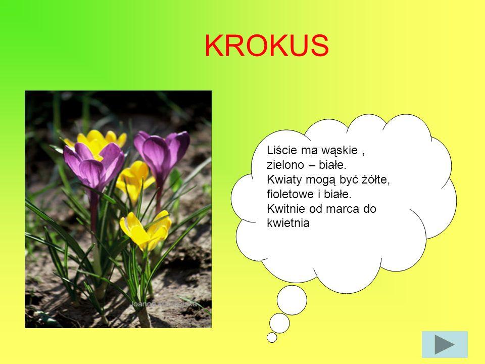 KROKUS Liście ma wąskie , zielono – białe.