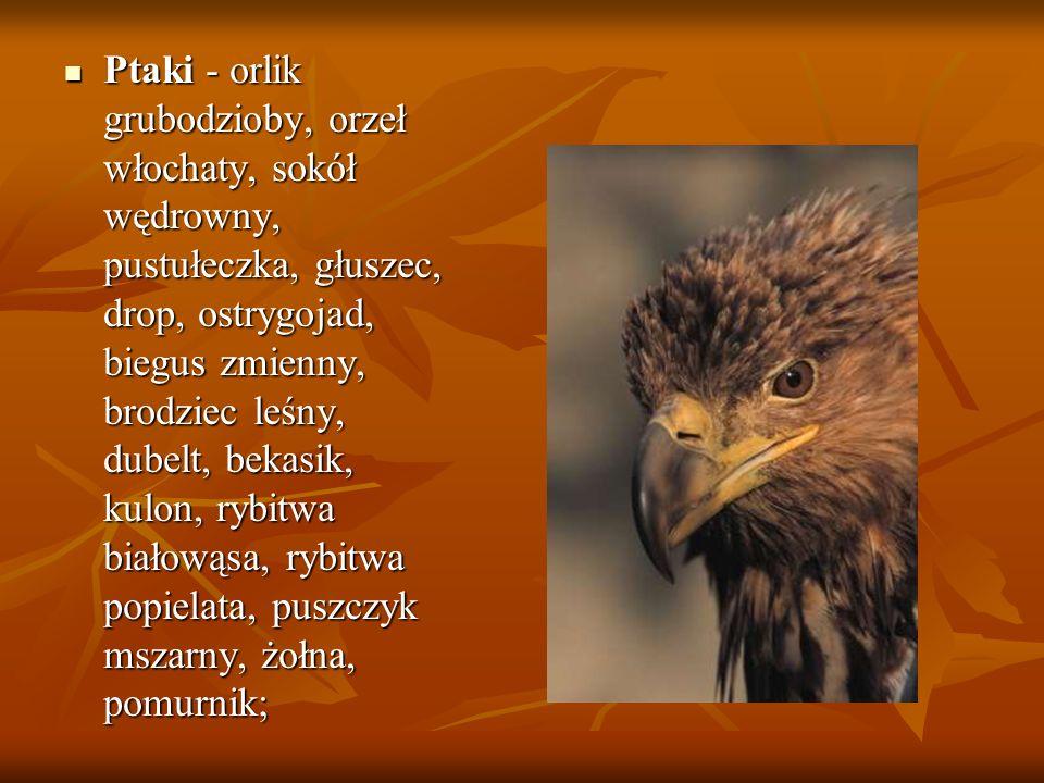 Ptaki - orlik grubodzioby, orzeł włochaty, sokół wędrowny, pustułeczka, głuszec, drop, ostrygojad, biegus zmienny, brodziec leśny, dubelt, bekasik, kulon, rybitwa białowąsa, rybitwa popielata, puszczyk mszarny, żołna, pomurnik;