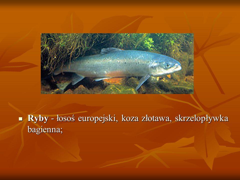 Ryby - łosoś europejski, koza złotawa, skrzelopływka bagienna;