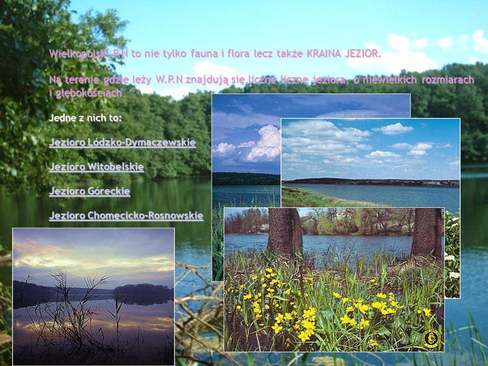 Wielkopolski P.N to nie tylko fauna i flora lecz także KRAINA JEZIOR.