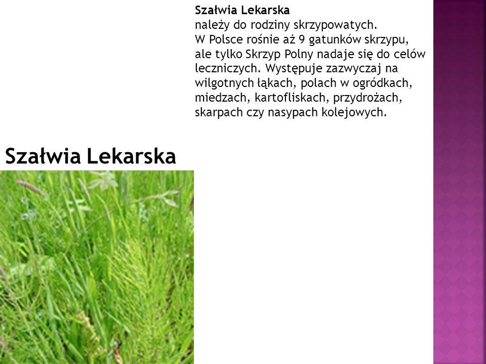 Szałwia Lekarska Szałwia Lekarska