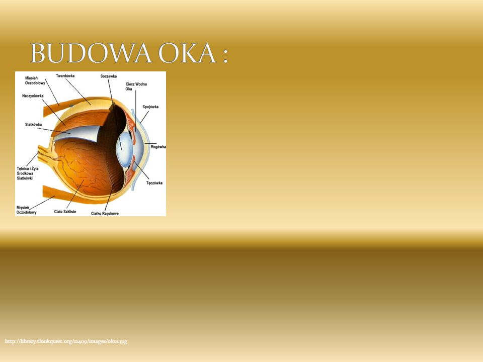 BUDOWA OKA : http://library.thinkquest.org/12409/images/oko1.jpg