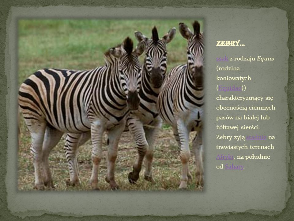 Zebry...