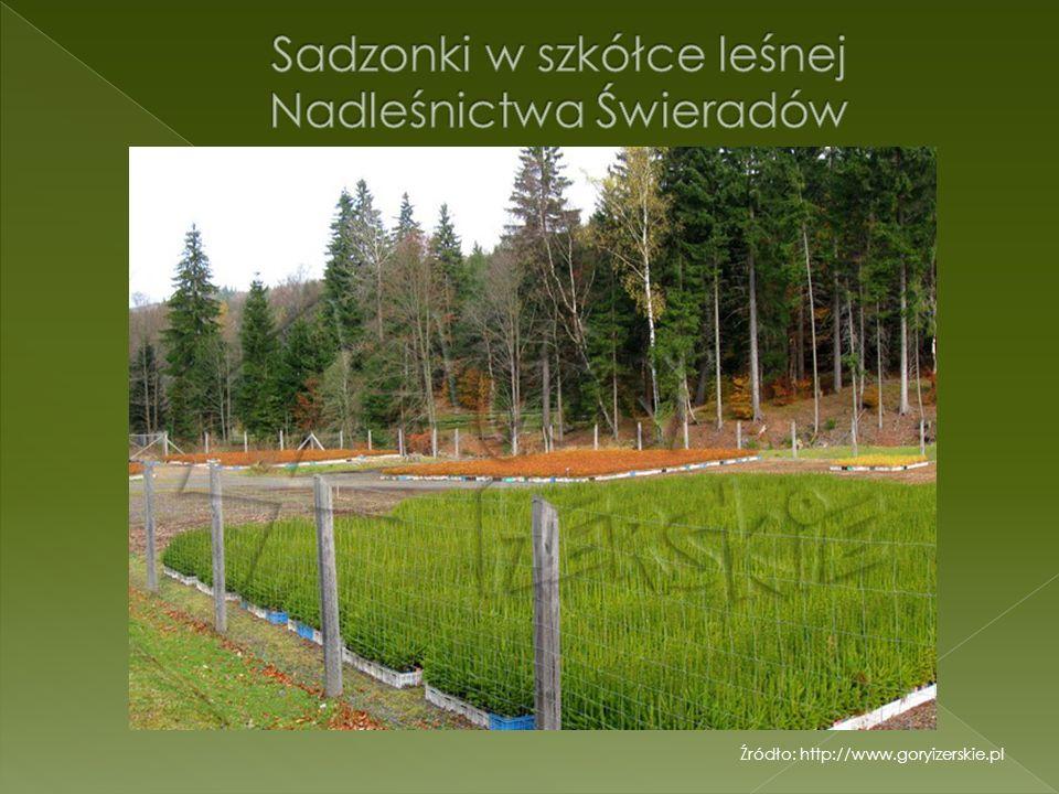 Sadzonki w szkółce leśnej Nadleśnictwa Świeradów