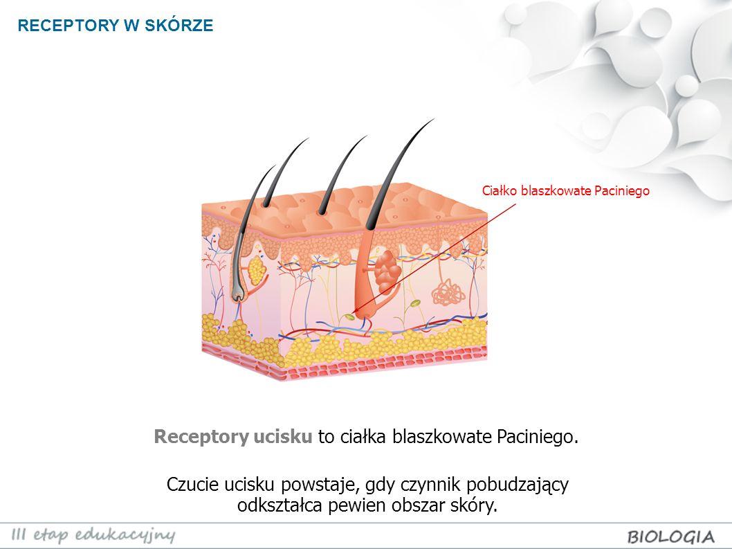 Receptory ucisku to ciałka blaszkowate Paciniego.