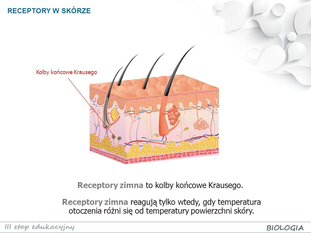 Receptory zimna to kolby końcowe Krausego.