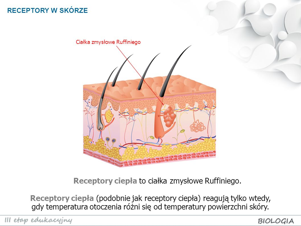 Receptory ciepła to ciałka zmysłowe Ruffiniego.