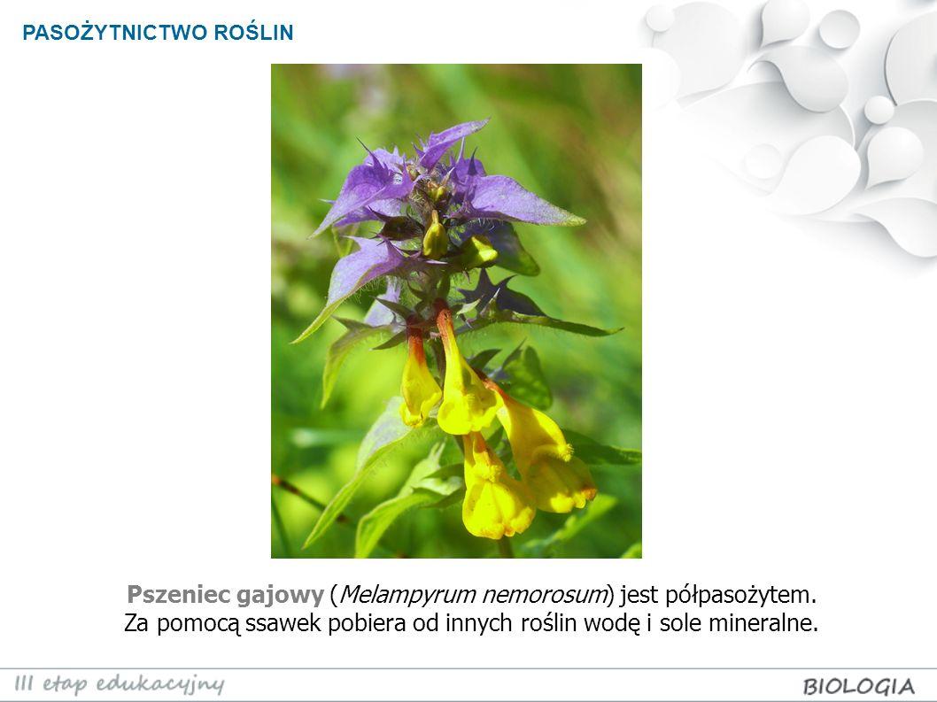 PASOŻYTNICTWO ROŚLIN Pszeniec gajowy (Melampyrum nemorosum) jest półpasożytem.