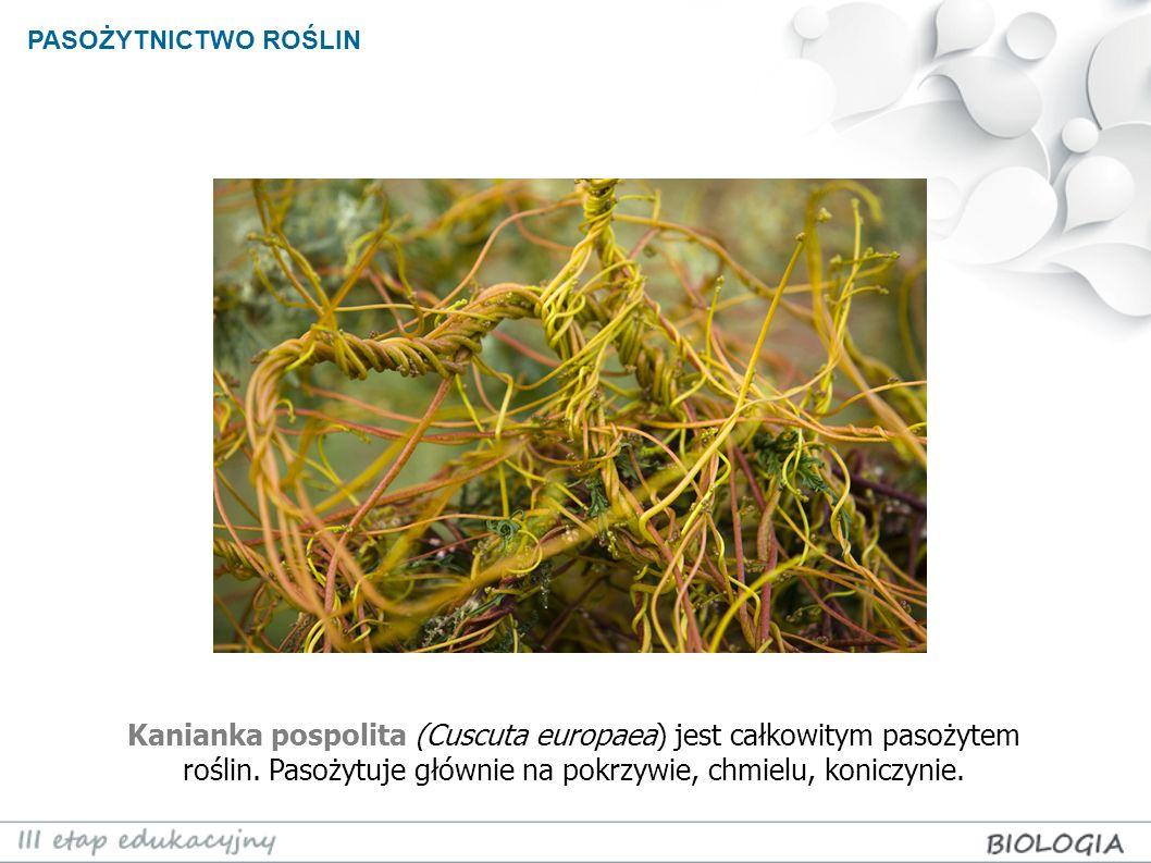 PASOŻYTNICTWO ROŚLIN Kanianka pospolita (Cuscuta europaea) jest całkowitym pasożytem roślin.