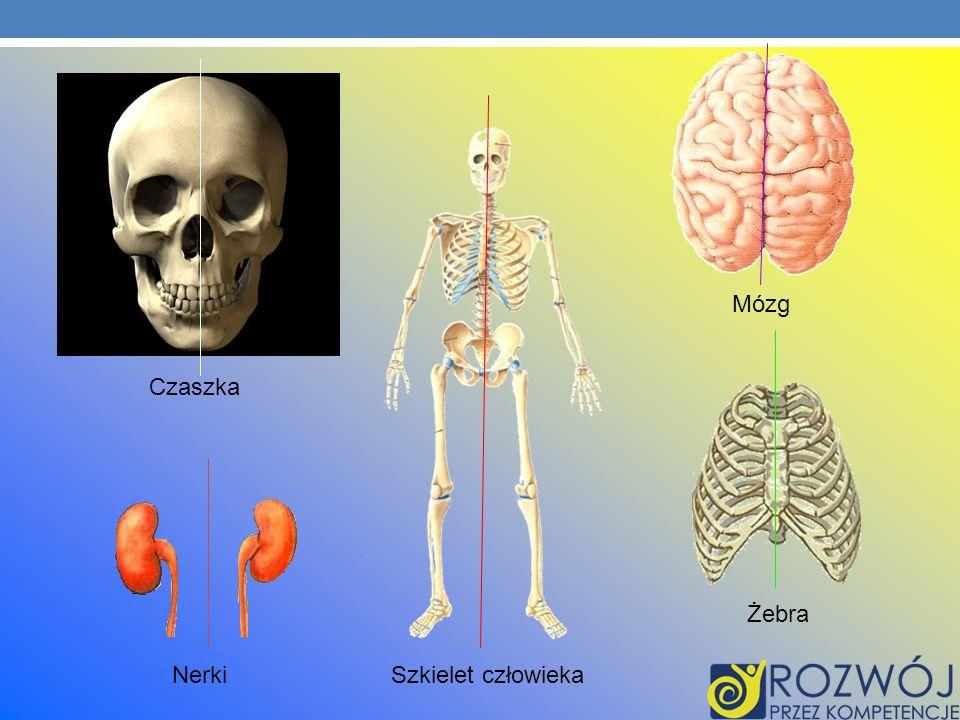 Mózg Czaszka Żebra Nerki Szkielet człowieka