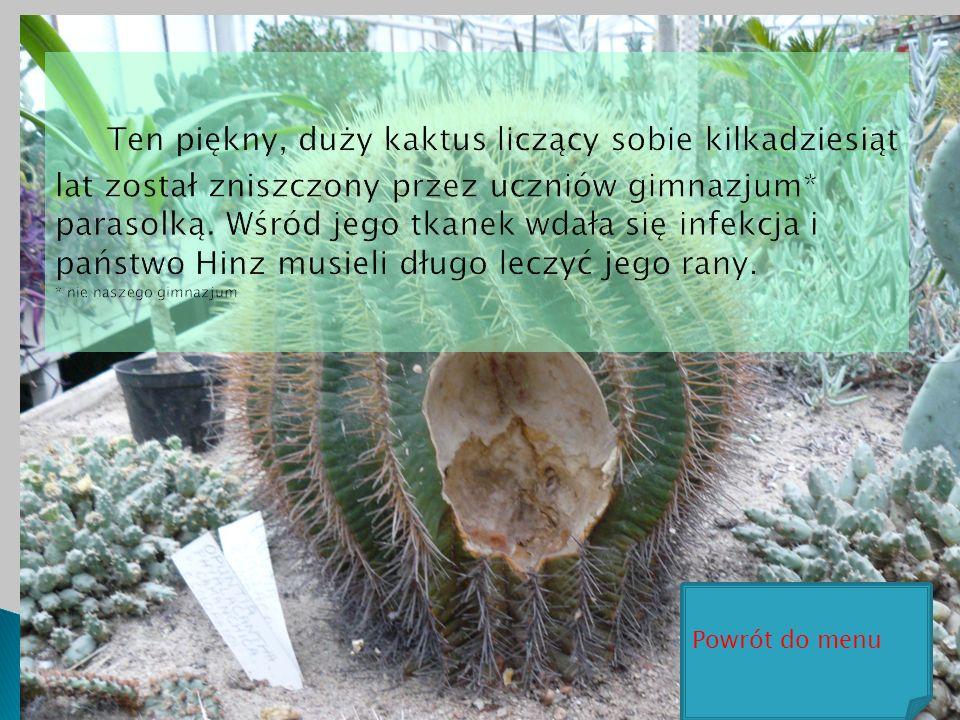 Ten piękny, duży kaktus liczący sobie kilkadziesiąt lat został zniszczony przez uczniów gimnazjum* parasolką. Wśród jego tkanek wdała się infekcja i państwo Hinz musieli długo leczyć jego rany. * nie naszego gimnazjum