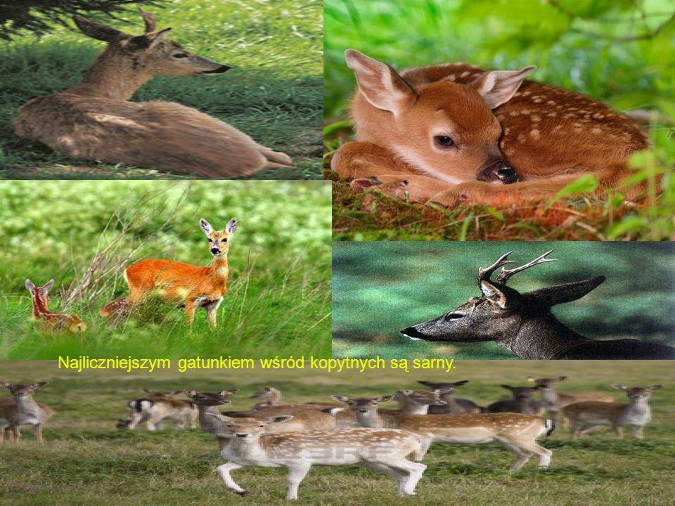 Najliczniejszym gatunkiem wśród kopytnych są sarny.