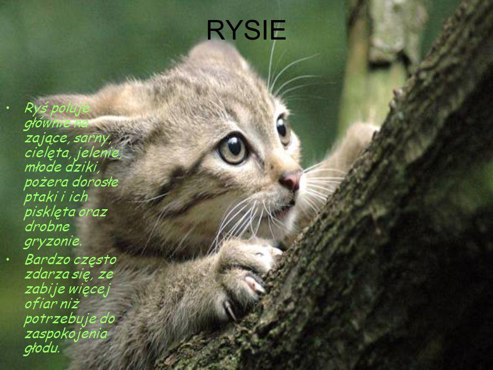 RYSIE Ryś poluje głównie na zające, sarny, cielęta, jelenie, młode dziki, pożera dorosłe ptaki i ich pisklęta oraz drobne gryzonie.