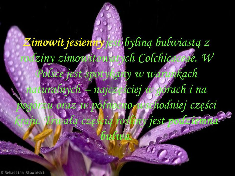 Zimowit jesienny jest byliną bulwiastą z rodziny zimowitowatych Colchicaceae.