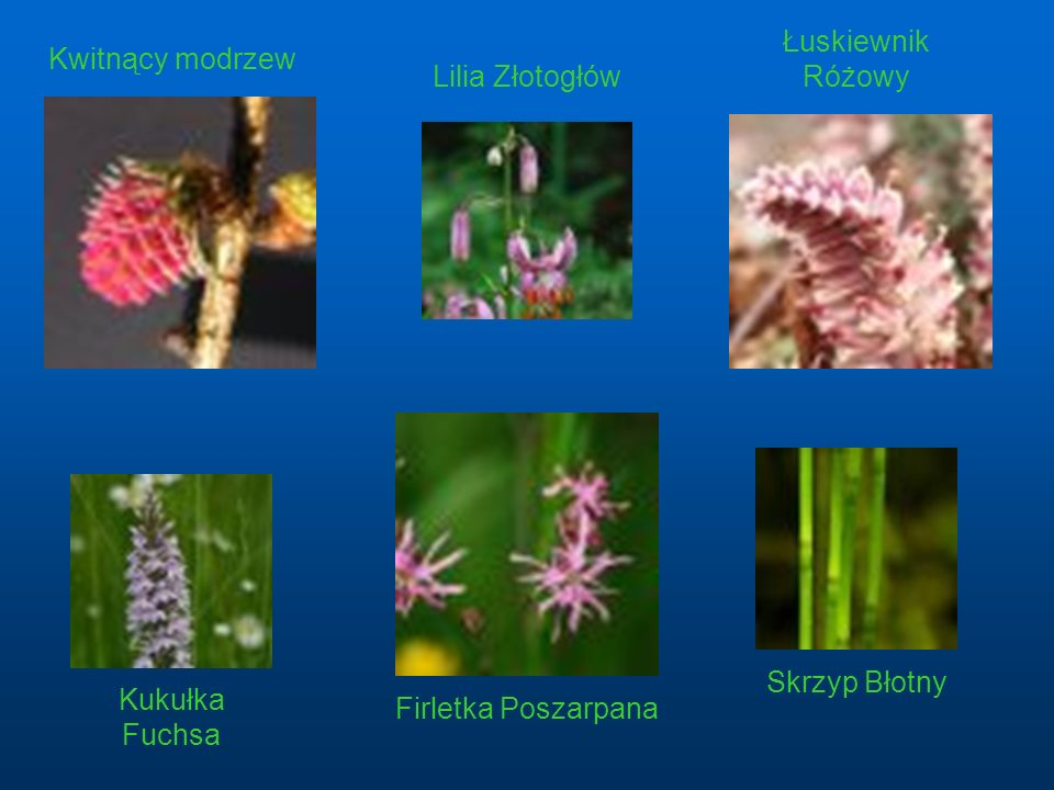 Łuskiewnik Różowy Kwitnący modrzew Lilia Złotogłów Skrzyp Błotny Kukułka Fuchsa Firletka Poszarpana