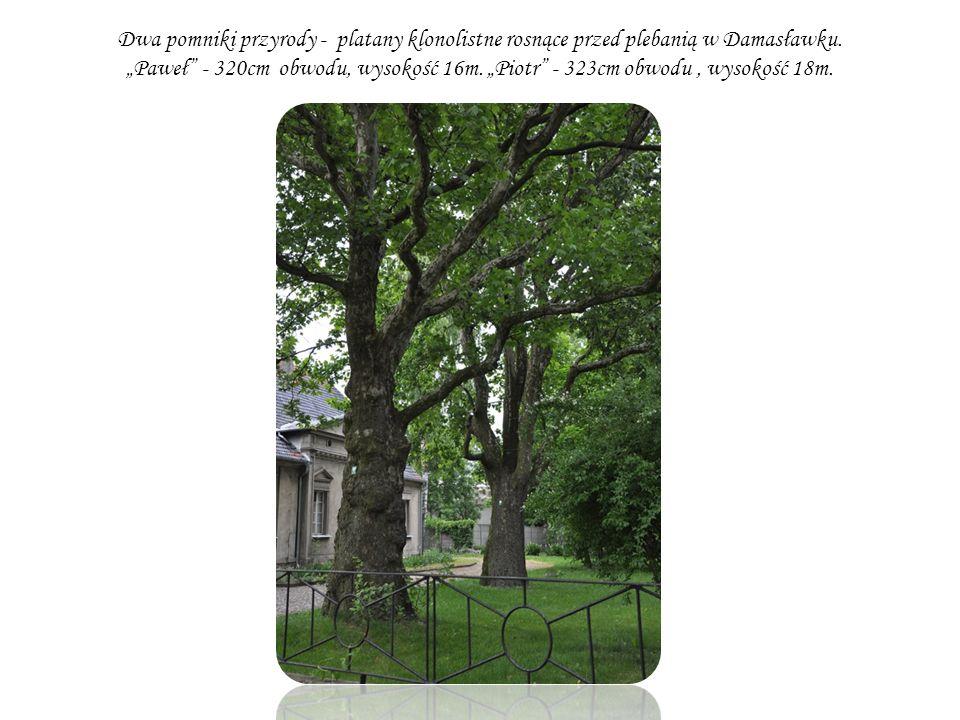 Dwa pomniki przyrody - platany klonolistne rosnące przed plebanią w Damasławku.