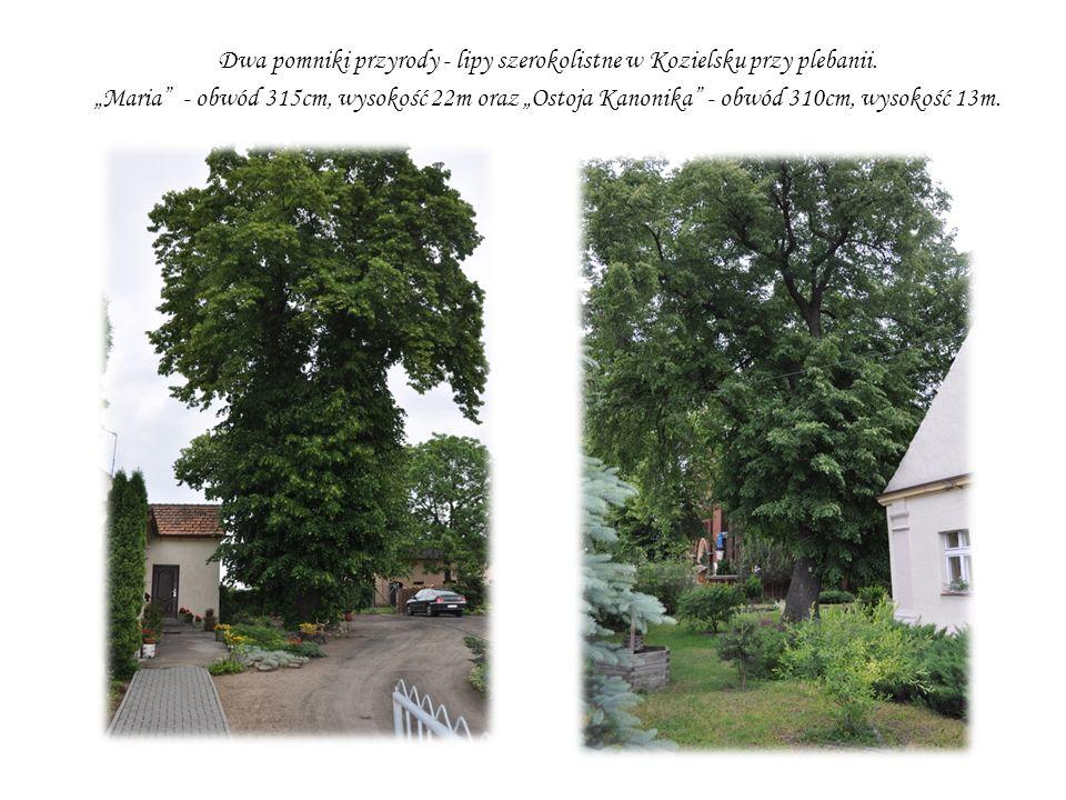 Dwa pomniki przyrody - lipy szerokolistne w Kozielsku przy plebanii