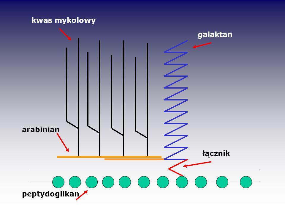 kwas mykolowy galaktan arabinian łącznik peptydoglikan