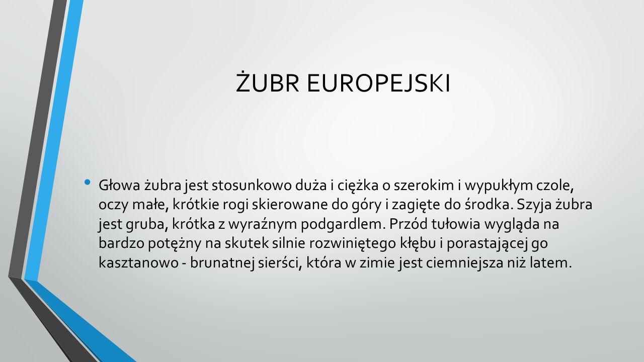 ŻUBR EUROPEJSKI