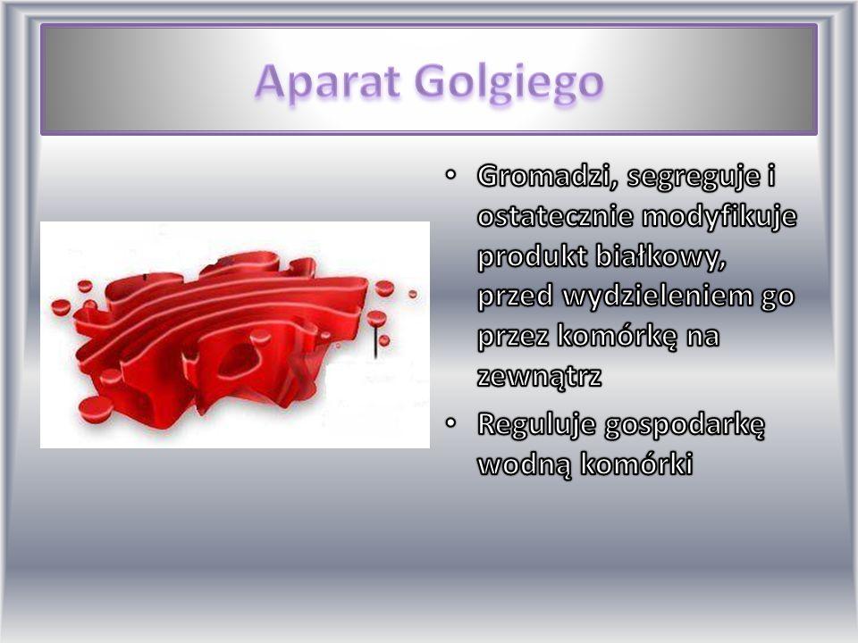 Aparat Golgiego Gromadzi, segreguje i ostatecznie modyfikuje produkt białkowy, przed wydzieleniem go przez komórkę na zewnątrz.