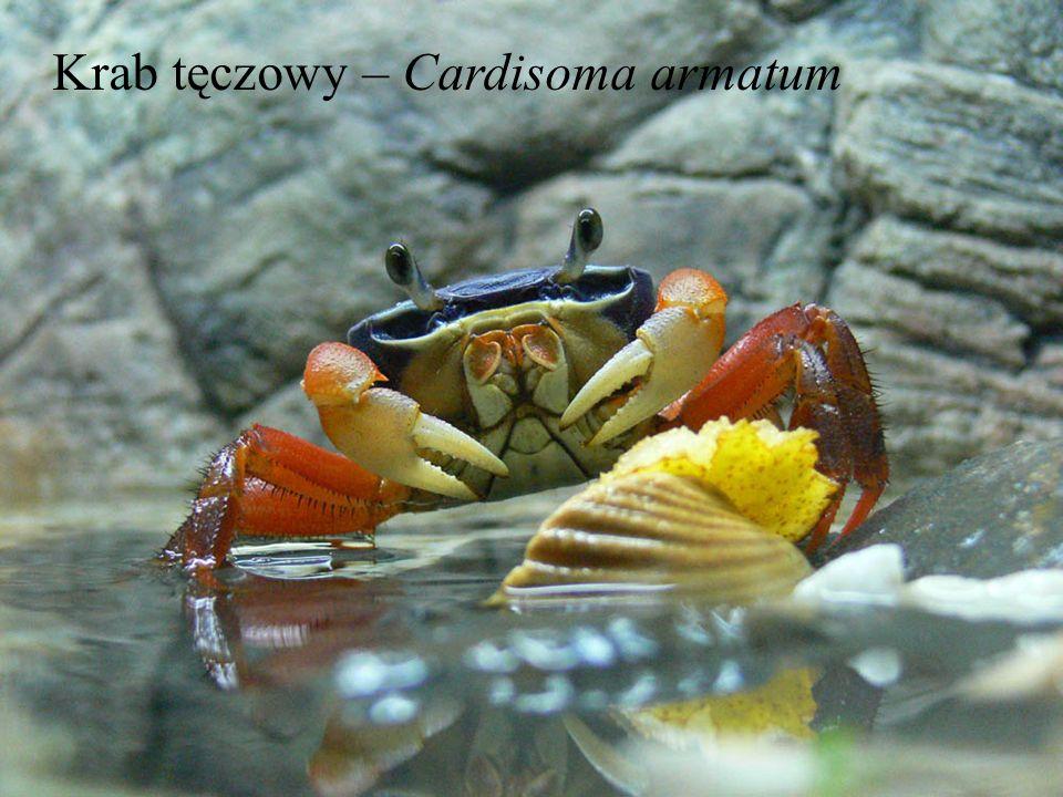 Krab tęczowy – Cardisoma armatum