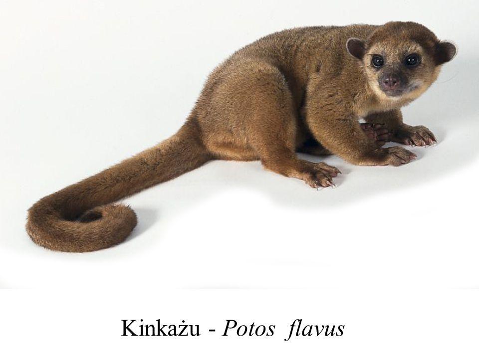 Kinkażu - Potos flavus