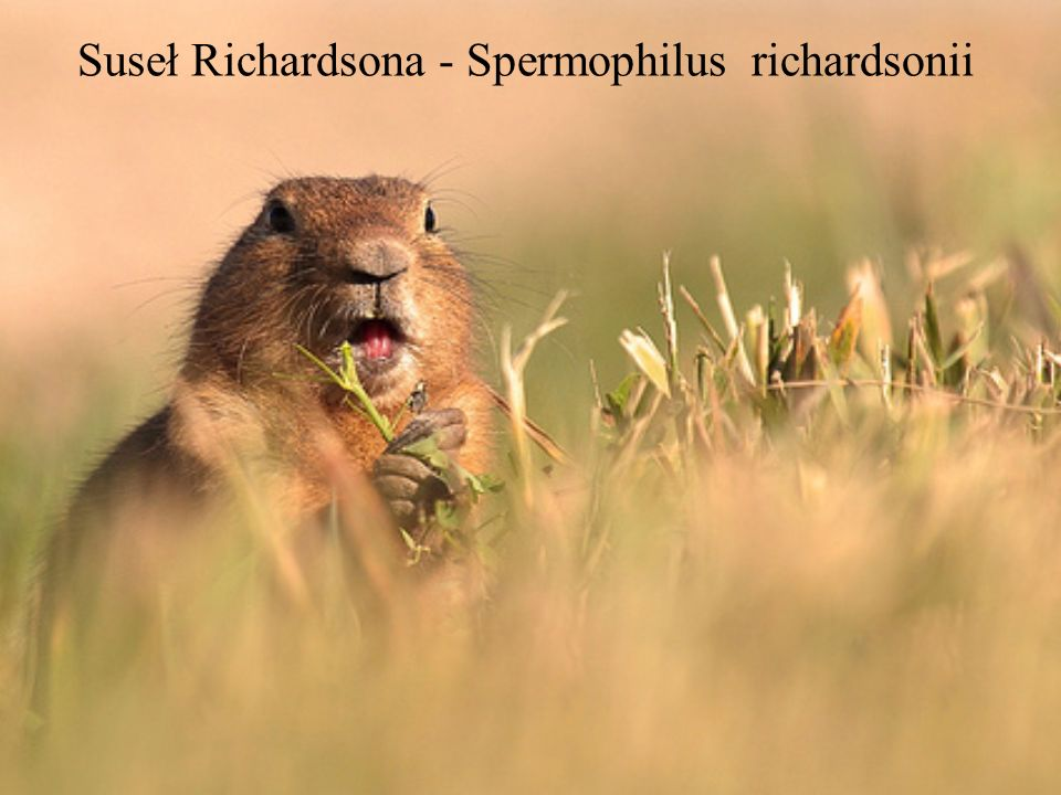 Suseł Richardsona - Spermophilus richardsonii