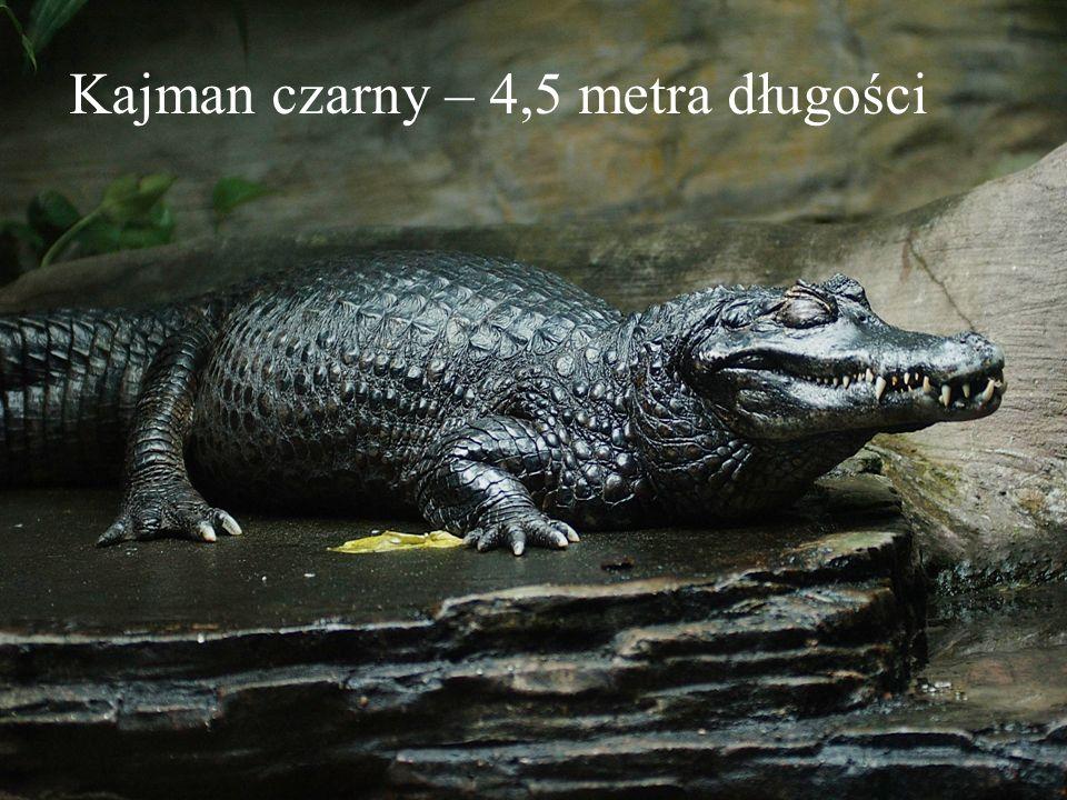 Kajman czarny – 4,5 metra długości
