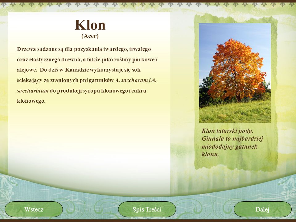 Klon(Acer)