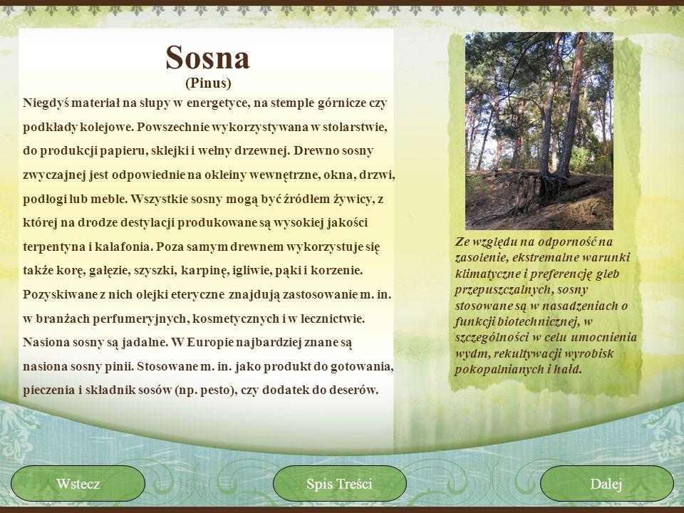 Sosna (Pinus) Wstecz Spis Treści Dalej