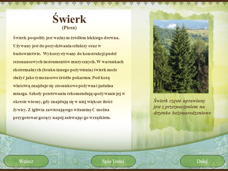 Świerk(Picea)