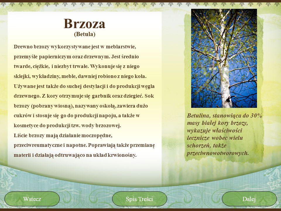 Brzoza(Betula)