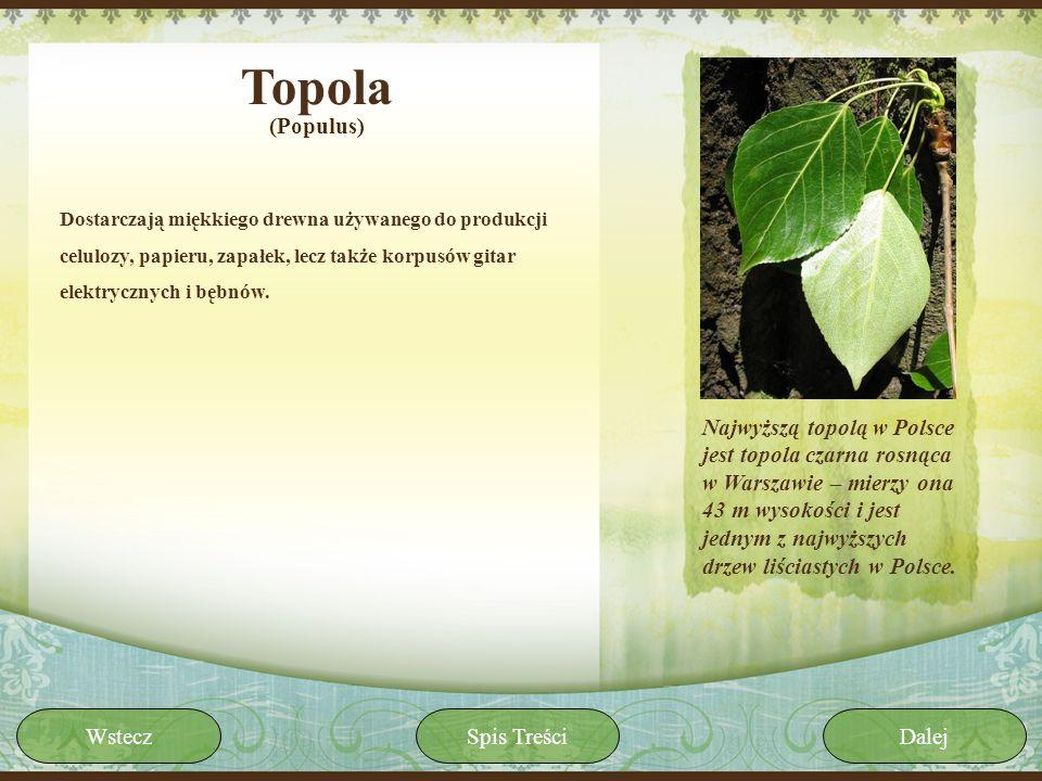 Topola(Populus) Dostarczają miękkiego drewna używanego do produkcji celulozy, papieru, zapałek, lecz także korpusów gitar elektrycznych i bębnów.