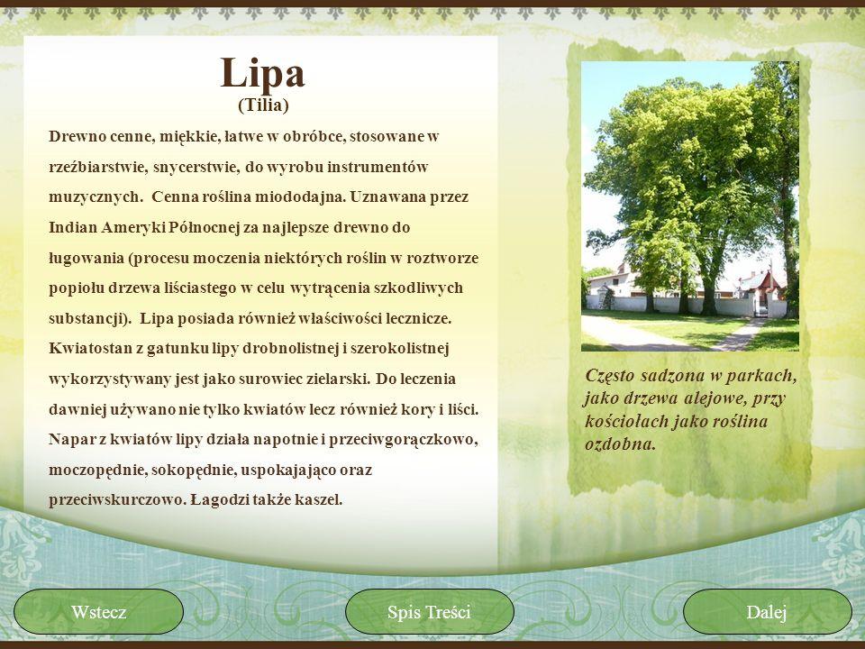 Lipa (Tilia)
