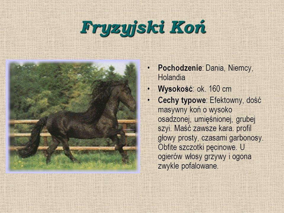 Fryzyjski Koń Pochodzenie: Dania, Niemcy, Holandia