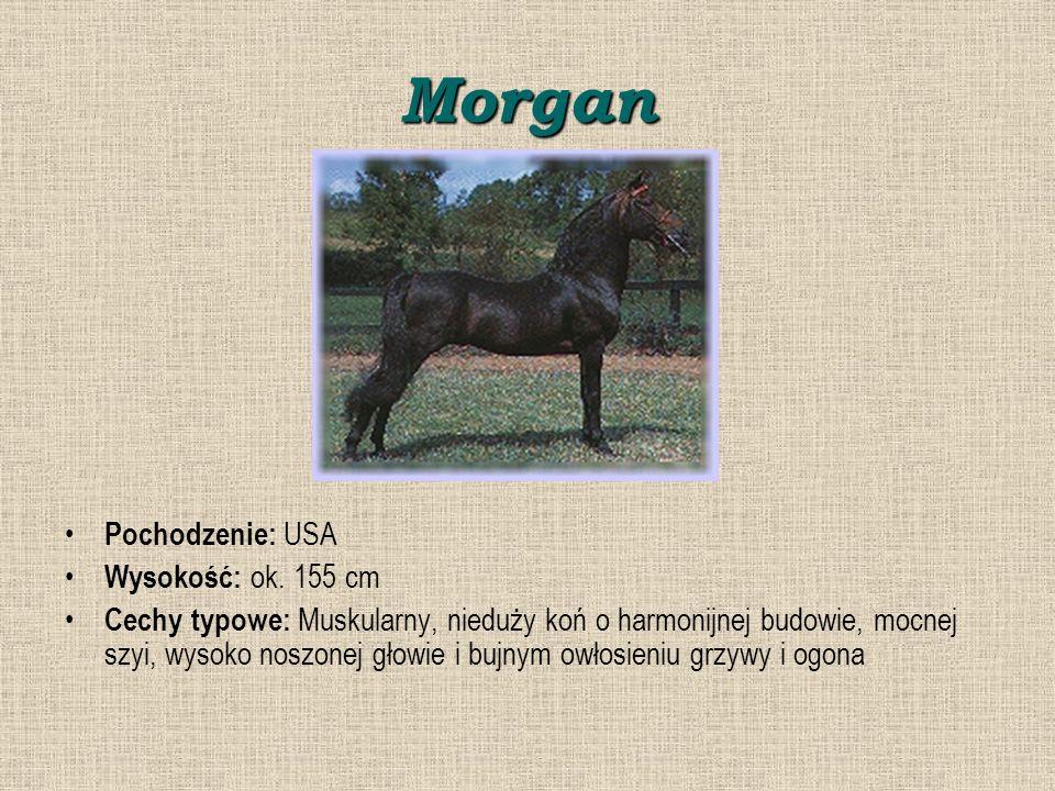 Morgan Pochodzenie: USA Wysokość: ok. 155 cm